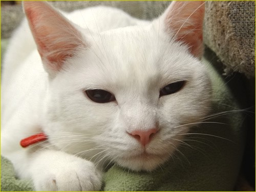 blue cat kokoro