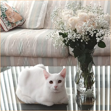 White rose and white cat KOKORO