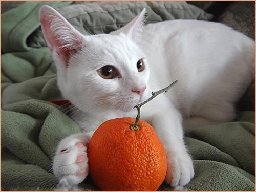 猫にみかん