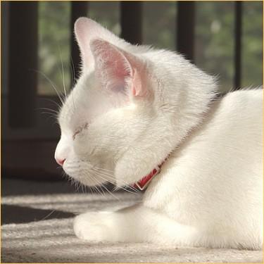 Sleepy cat KOKORO