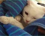 お風呂に入ったマシュマロ猫ココロをビーチタオルでゴシゴシ