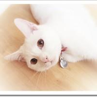 マシュマロ猫ココロのポートレート