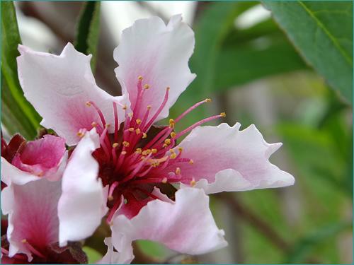 桃の木の成長記録 「花が咲いた」