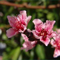 【季節の写真】カリフォルニアで育てる桃の木