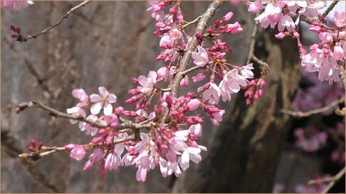 Lovely cherry Blossoms street in Akizuki Fukuoka Japan