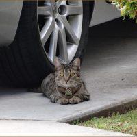 ネコ写真・近所の外ねこタイガーリリー