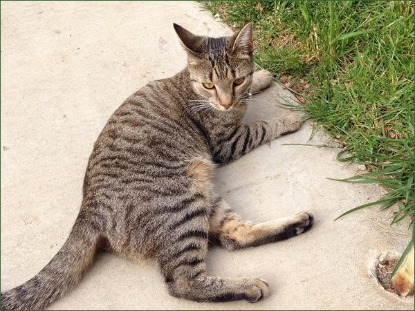 【ネコ写真とネコ動画】トラ猫タイガーリリーからまさかの友達申請