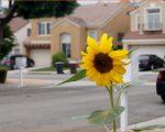 可憐に咲く南カリフォルニア向日葵の風景